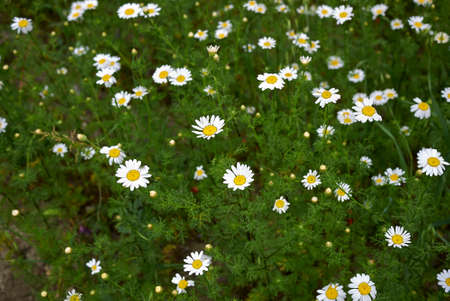 Anthemis arvensis white and yellow flowers