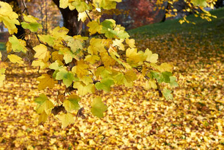 Acer campestre foliage in autumn