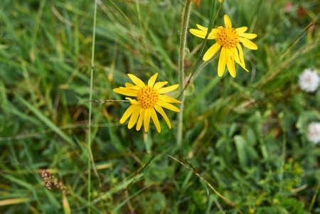 Arnica montana yellow flowers and fresh leaves Archivio Fotografico