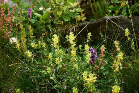 Rhinanthus minor yellow flowers Archivio Fotografico