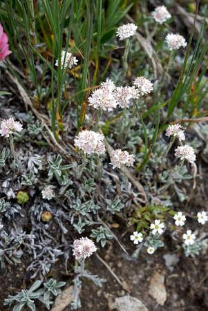 Antennaria dioica white inflorescence