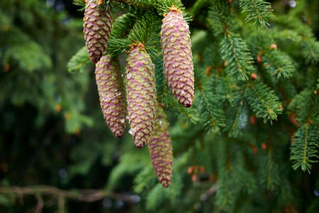 Picea abies branch close up