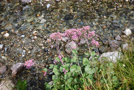 Adenostyles alliariae pink inflorescence