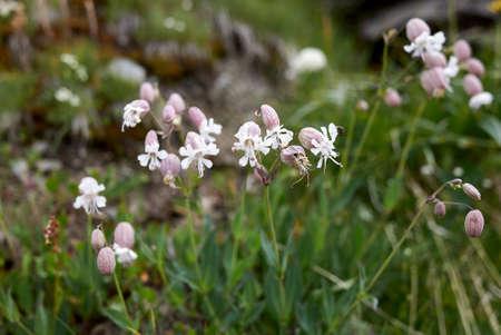 Silene vulgaris white and purple inflorescence Archivio Fotografico