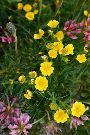 Potentilla aurea yellow flowers