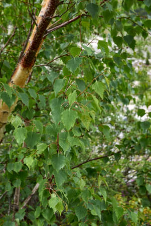 Betula pendula green foliage