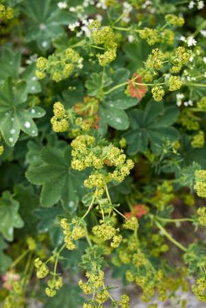 Alchemilla monticola yellow inflorescence