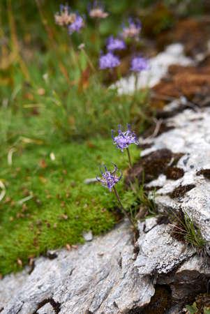 Phyteuma hemisphaericum blue violet inflorescence