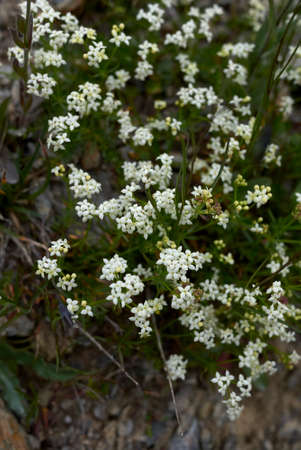 Galium saxatile white inflorescence Archivio Fotografico