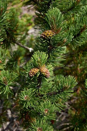 Pinus mugo coniferous trees