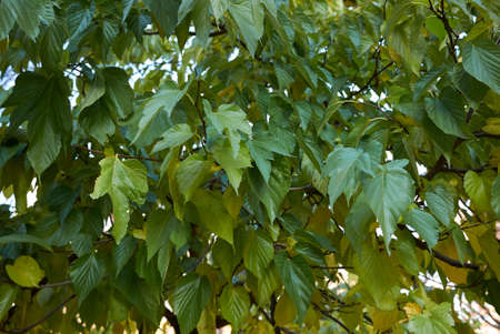 Morus alba green and yellow foliage in autumn Stok Fotoğraf