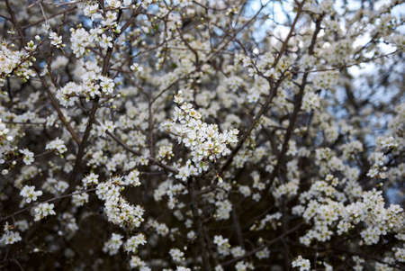 prunus spinosissima in bloom