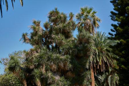 Yucca australis plant in an ornamental garden