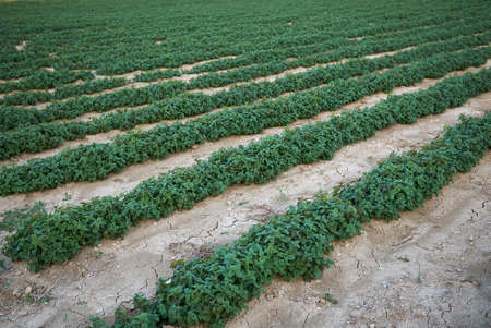 Melissa officinalis plants in an agricultural field