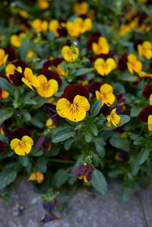 Viola williamsii colorful flowers