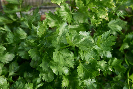 celery plants in a vegetable garden 免版税图像