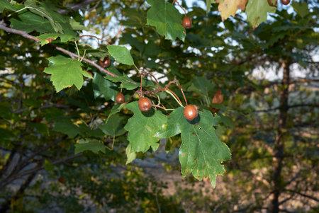 Sorbus torminalis branch with fruit