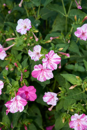 Mirabilis jalapa white and purple flowers 免版税图像