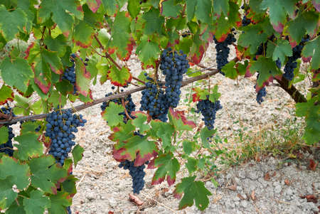 ripe bunches in a vineyard