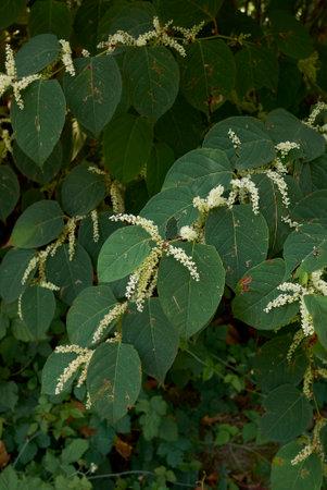 Reynoutria japonica plants in bloom