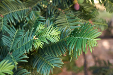 Taxus baccata fresh leaves and fruit