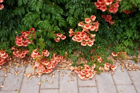 Campsis radicans orange blossom 免版税图像