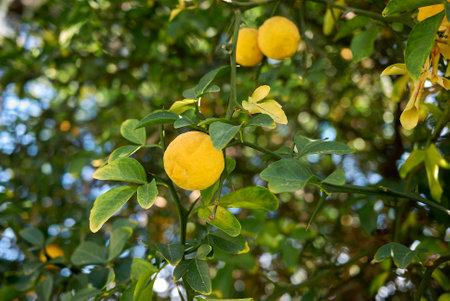Poncirus trifoliata branch with ripe and unripe fruit