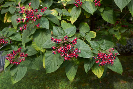 Clerodendrum trichotomum branch with colorful fruit 免版税图像