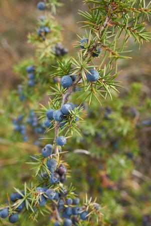 Juniperus communis branch close up with ripe fruit