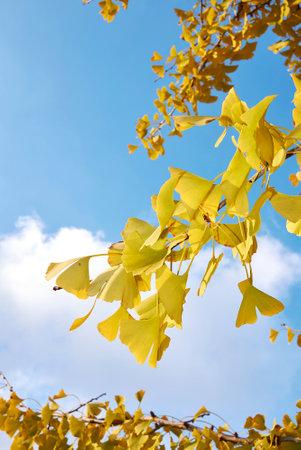 Ginkgo biloba yellow foliage in autumn