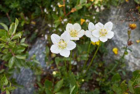 Parnassia palustris white flowers
