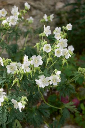 Geranium pratense violet and white flowers 免版税图像
