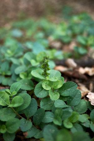 Veronica officinalis fresh plants