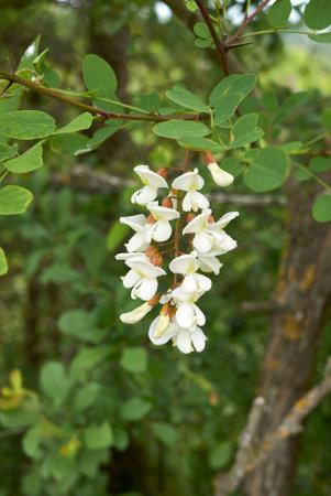 Robinia pseudoacacia tree in bloom