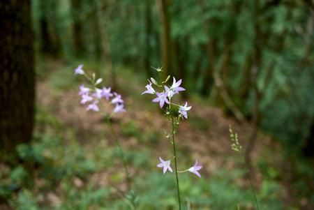 Campanula rapunculus violet flowers