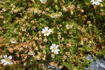 Cerastium uniflorum white inflorescence