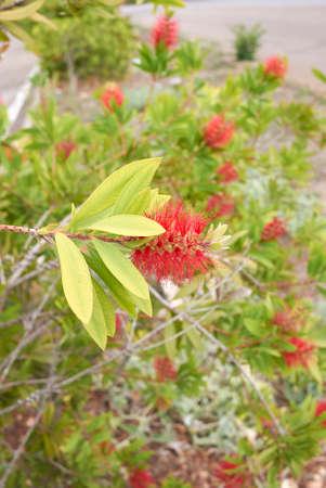 Malaleuca citrina red inflorescence Banque d'images