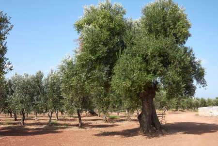 Olea europaea trees in summer Banque d'images
