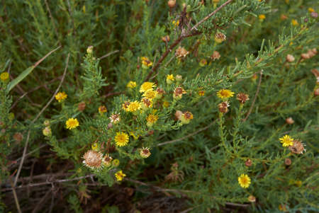 Limbarda crithmoides yellow inflorescence Banque d'images