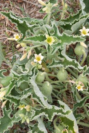 Ecballium elaterium fruit and flower close up