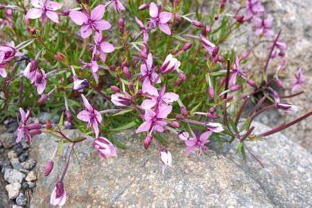 Chamaenerion fleischeri purple inflorescence