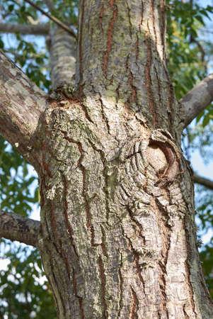 Melia azedarach trunk close up