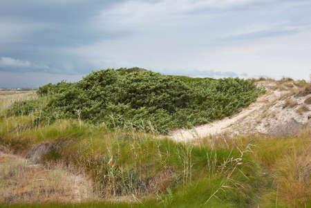 Juniperus oxycedrus shrub on the coastline