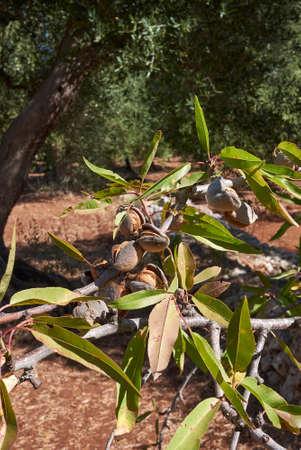 Prunus dulcis branch close up with almonds Banque d'images