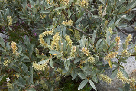 Salix glaucosericea branch close up