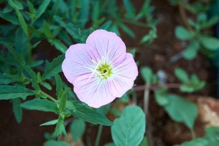 Oenothera speciosa pink flower close up