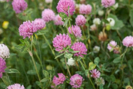 Trifolium pratense white and purple inflorescence Banque d'images