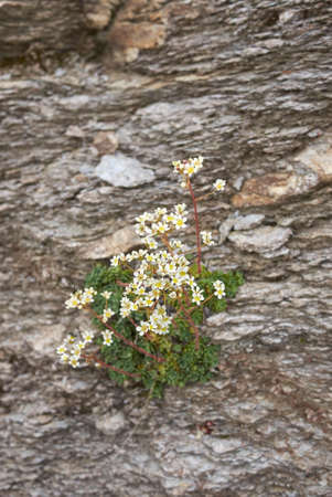Saxifraga paniculata white flowers
