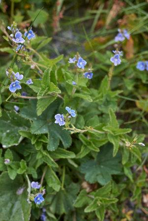 Veronica chamaedrys blue flowers Banque d'images