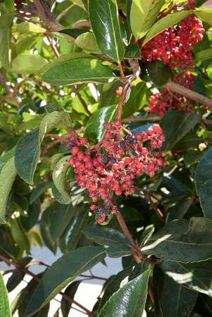 Viburnum odoratissimum red fruit close up